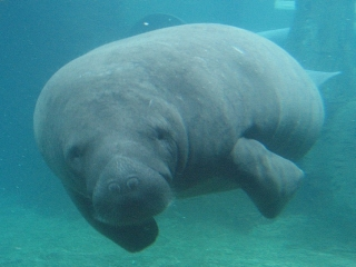 a manatee at the Mote Aquarium