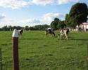 cows at the Experimental Farm.