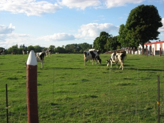 cows at the Experimental Farm.
