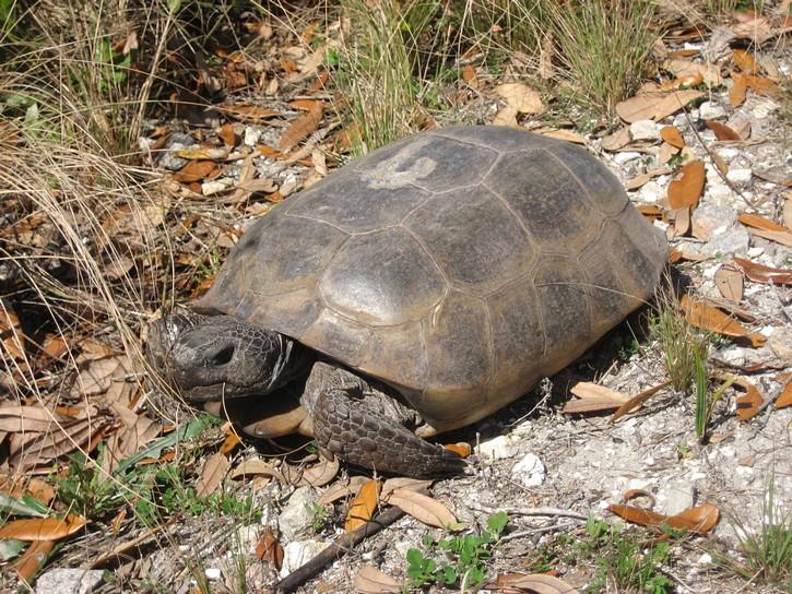turtle next to Legacy Trail