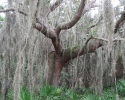 tree with Spanish moss on the Legacy Trail.