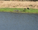 two birds next to alligator