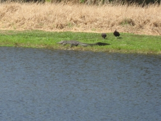 two birds next to alligator