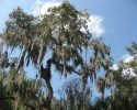 tree in Myakka River State Park