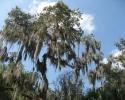 tree in Myakka River State Park