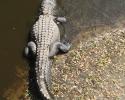 alligator in Myakka River State Park