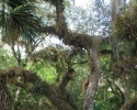 trees in the Myakka River State Park.