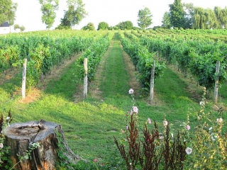 a vineyard in Prince Edward County.