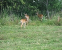 deer on Wolfe Island