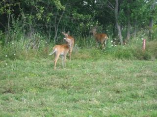 deer on Wolfe Island